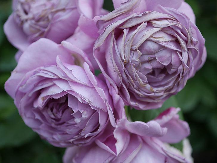 ノヴァーリス(Novalis)の花が房で咲いた。木立バラ。2020年-054.jpg
