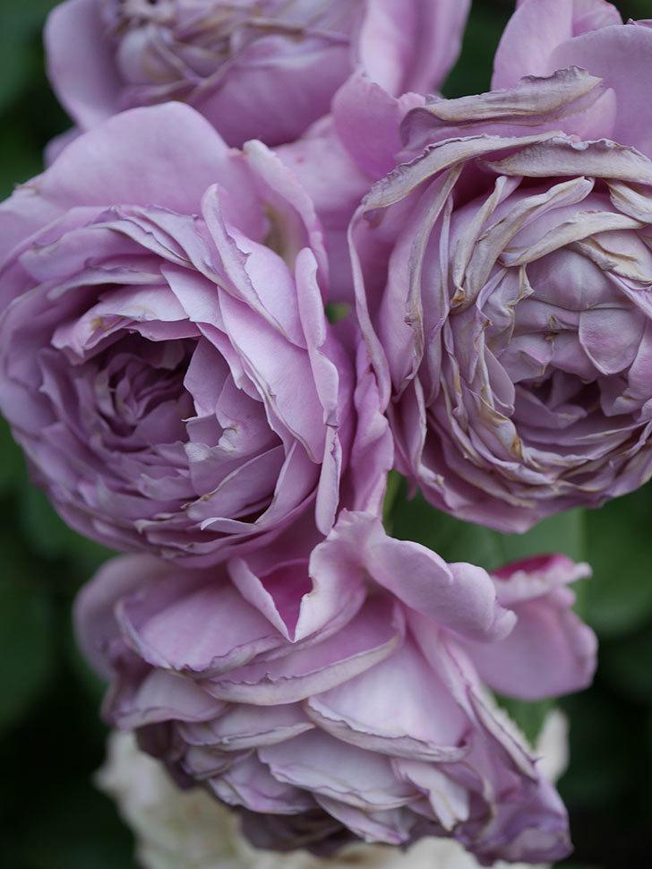 ノヴァーリス(Novalis)の花が房で咲いた。木立バラ。2020年-055.jpg