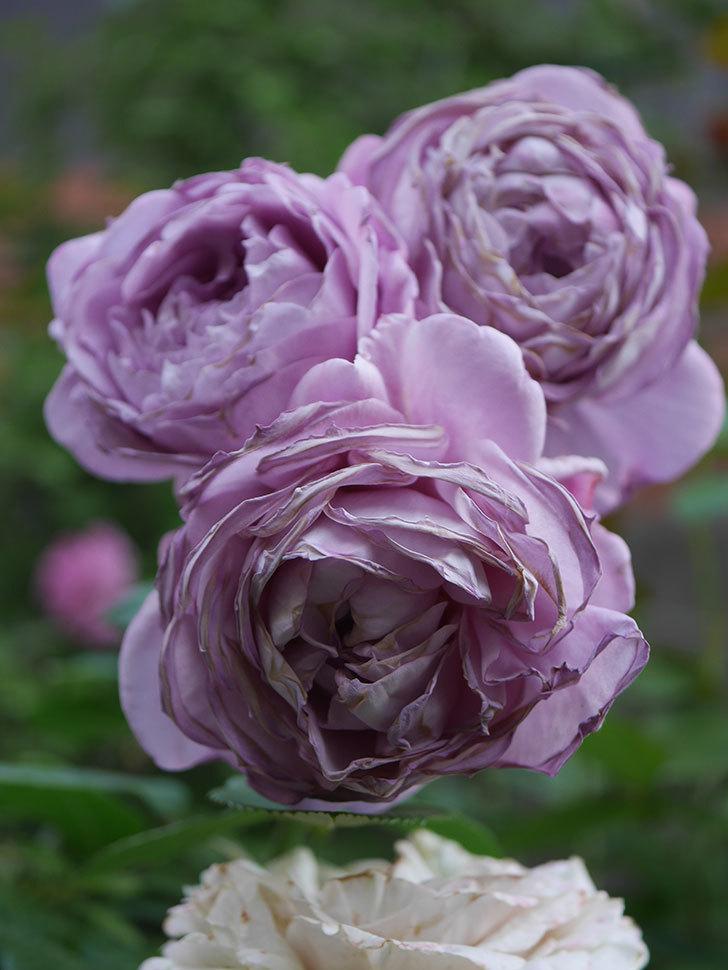 ノヴァーリス(Novalis)の花が房で咲いた。木立バラ。2020年-056.jpg