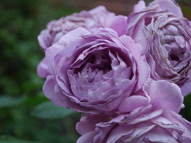 ノヴァーリス(Novalis)の花が房で咲いた。木立バラ。2020年-057.jpg