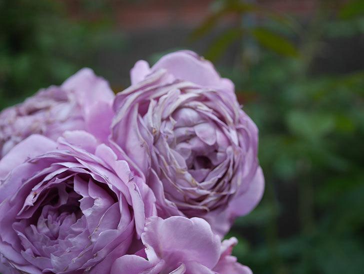 ノヴァーリス(Novalis)の花が房で咲いた。木立バラ。2020年-058.jpg