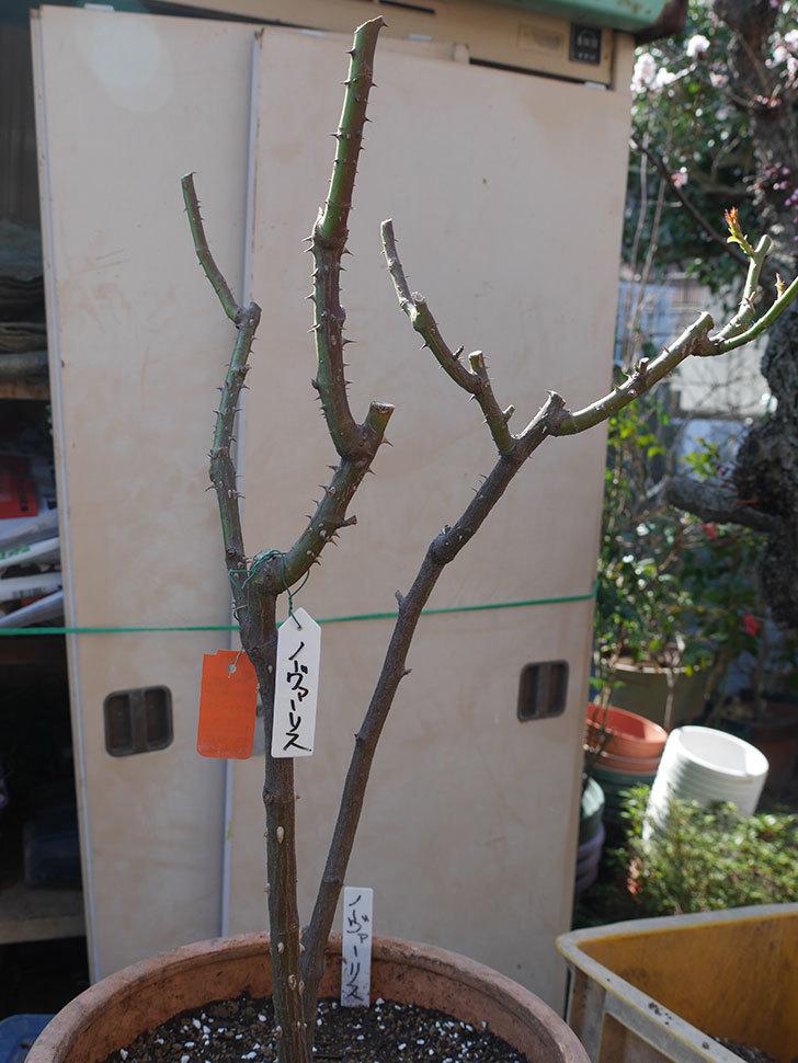 ノヴァーリス(Novalis)を冬剪定してから植え替えた。木立バラ。2021年-035.jpg