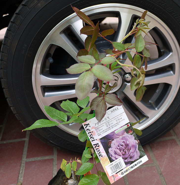 ノヴァーリス(バラ)の新苗をケイヨーデイツーで買って来た。2016年-1.jpg