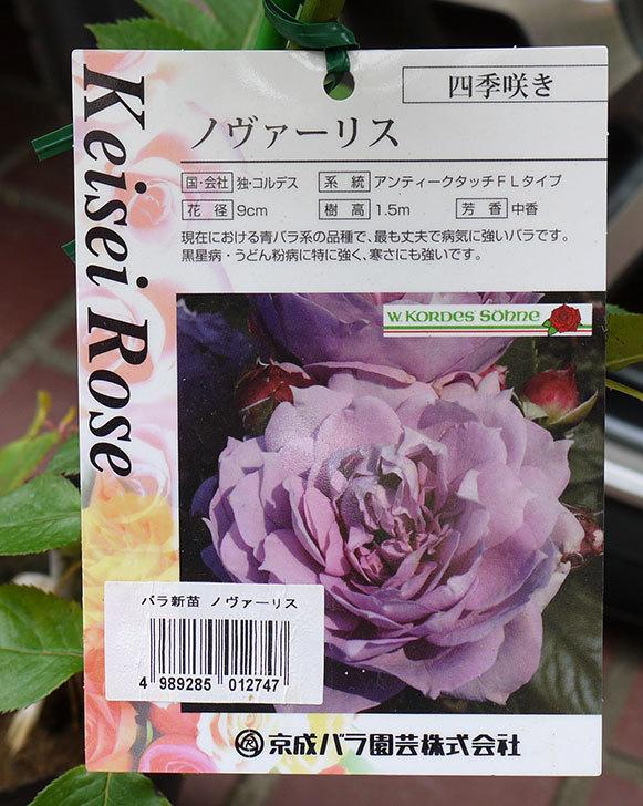 ノヴァーリス(バラ)の新苗をケイヨーデイツーで買って来た。2016年-4.jpg
