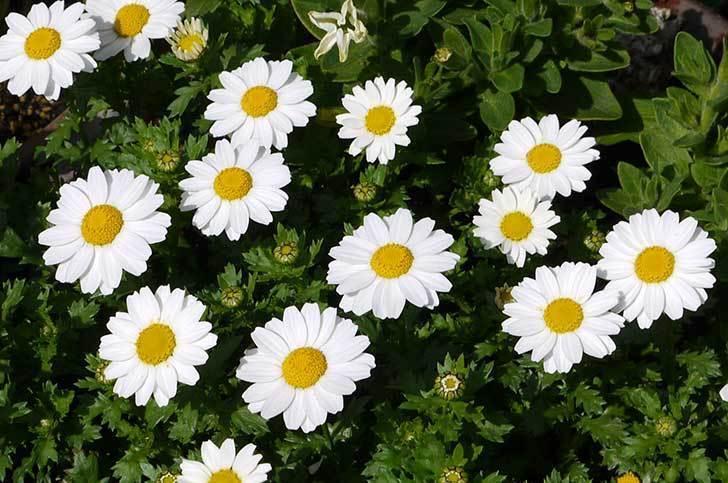 ノースポールがたくさん咲いた2.jpg