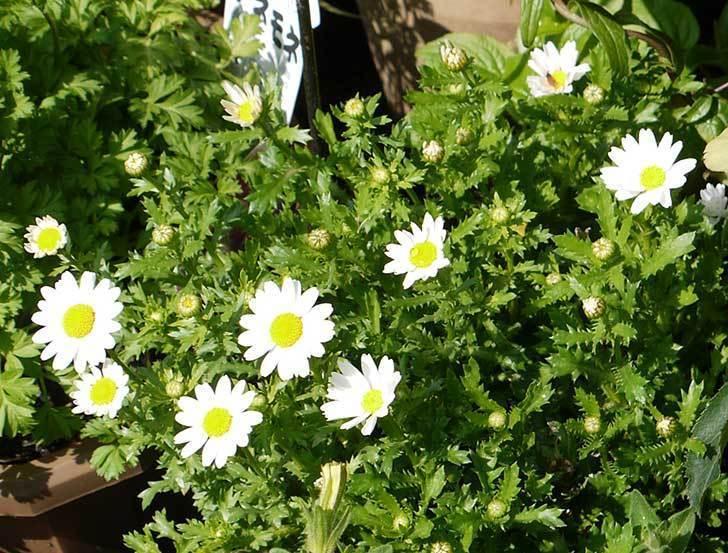 ノースポールがたくさん咲いた3.jpg