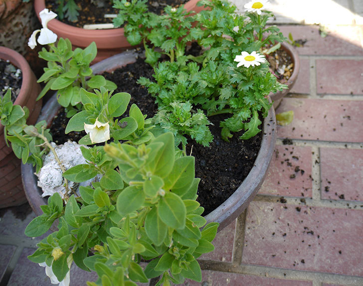 ノースポールを鉢に植えた2.jpg