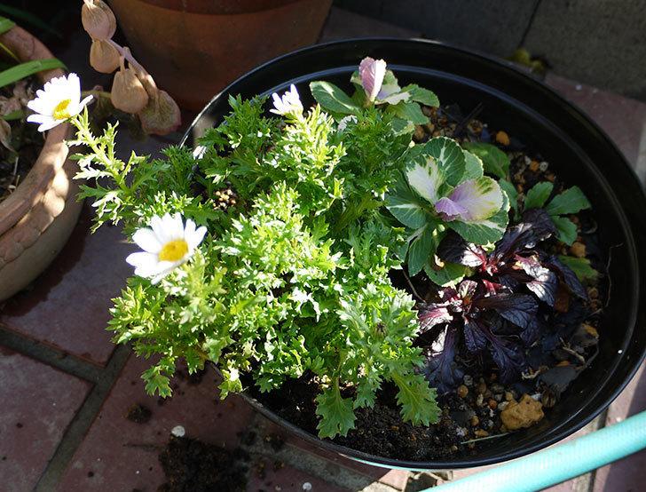 ノースポールを鉢に植えた4.jpg