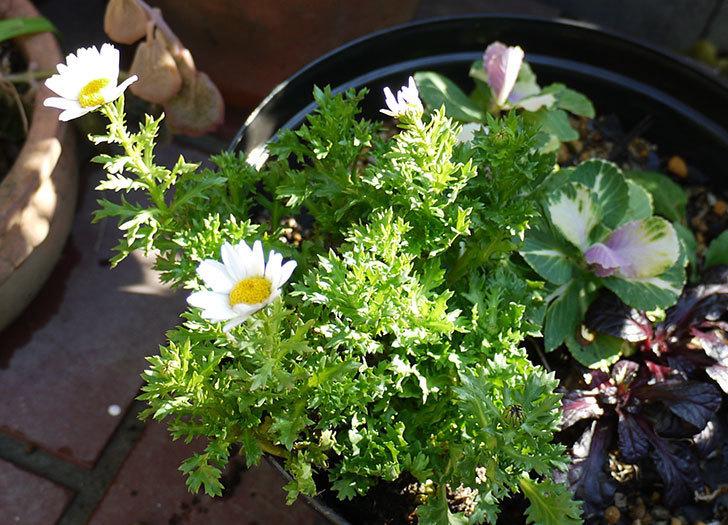 ノースポールを鉢に植えた5.jpg