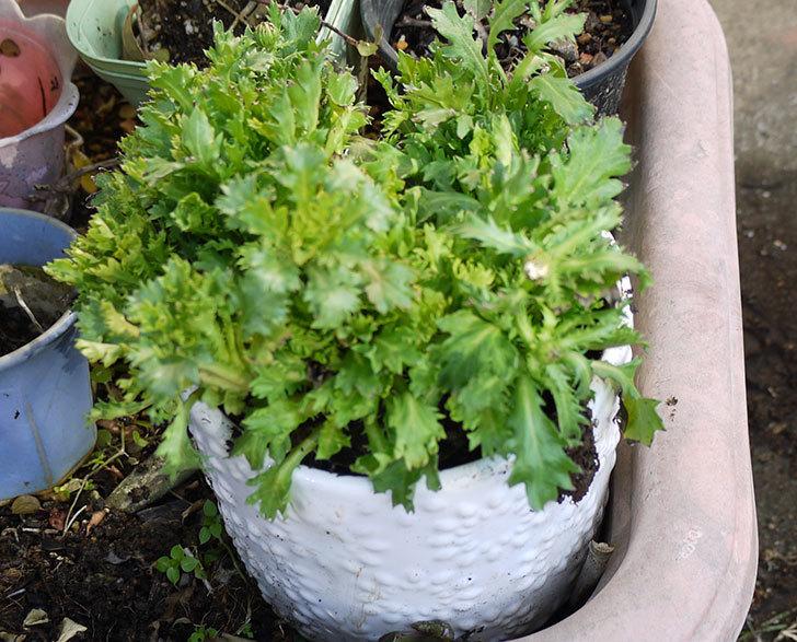 ノースポールを鉢に植えた6.jpg