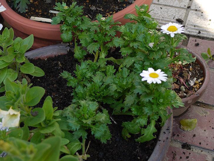 ノースポールを鉢に植えた1.jpg