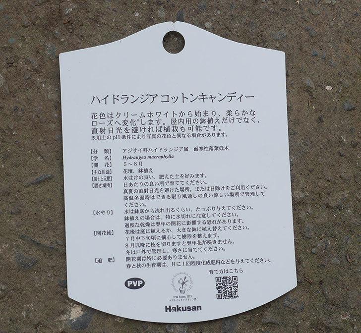 ハイドランジア-コットンキャンディがホームズで500円だったので買って来た。2019年-5.jpg
