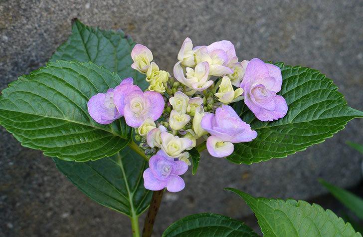 ハイドランジア-フェアリーアイ(アジサイ)が咲き始めた。2015年-1.jpg