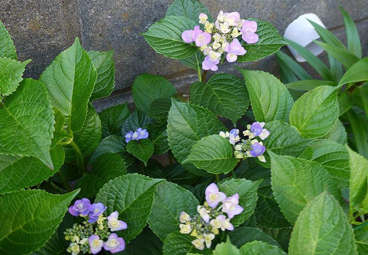 ハイドランジア-フェアリーアイ(アジサイ)が咲き始めた。2015年-2.jpg