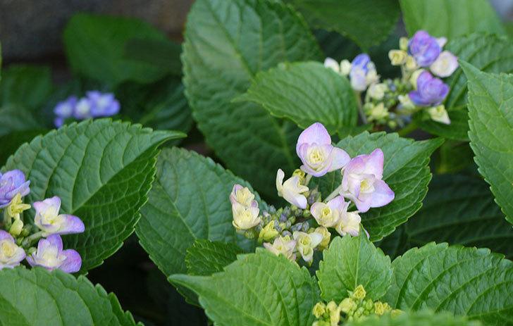 ハイドランジア-フェアリーアイ(アジサイ)が咲き始めた。2015年-3.jpg