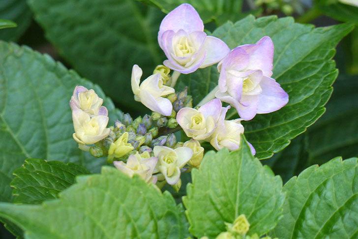 ハイドランジア-フェアリーアイ(アジサイ)が咲き始めた。2015年-4.jpg