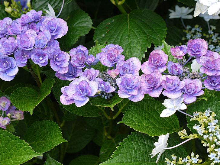 ハイドランジア-フェアリーアイ(アジサイ)の花がたくさん咲いた。2016年-1.jpg