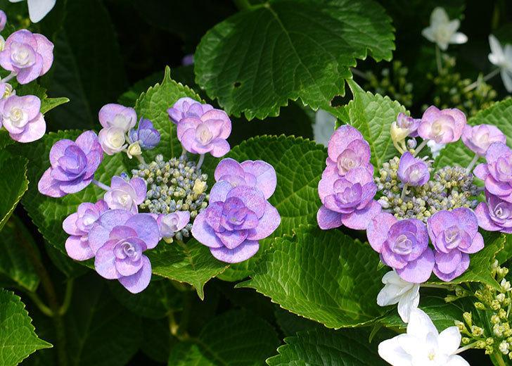 ハイドランジア-フェアリーアイ(アジサイ)の花が咲いた。2016年-1.jpg