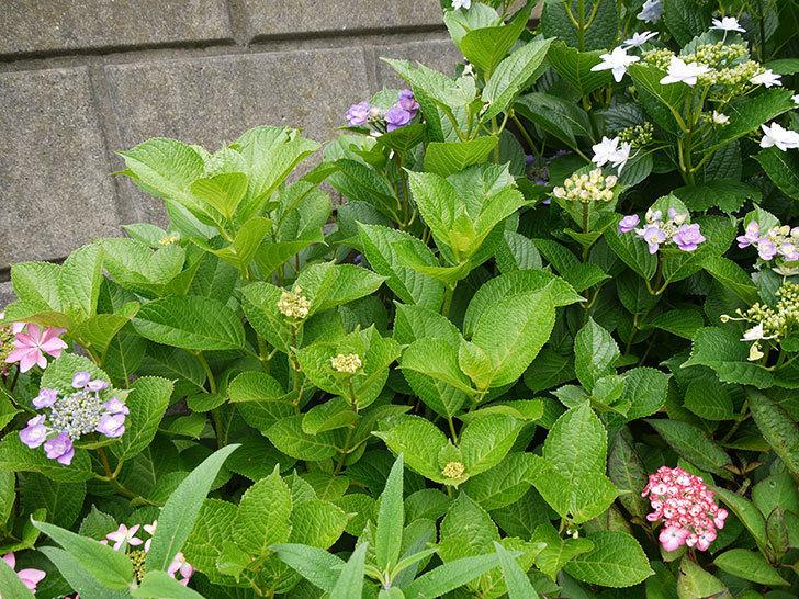 ハイドランジア-フェアリーアイ(アジサイ)の花が咲き出した。2016年-2.jpg