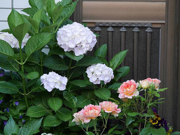 ハイドランジア コットンキャンディの花がすこしピンクになってきた。2020年-001.jpg