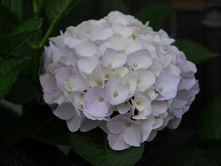 ハイドランジア コットンキャンディの花がすこしピンクになってきた。2020年-003.jpg