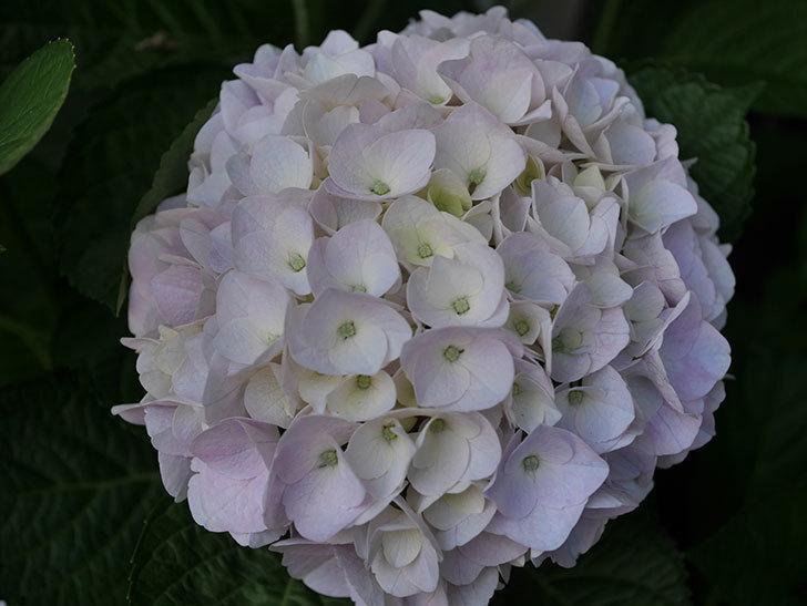 ハイドランジア コットンキャンディの花がすこしピンクになってきた。2020年-007.jpg