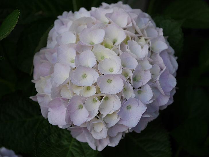 ハイドランジア コットンキャンディの花がすこしピンクになってきた。2020年-008.jpg