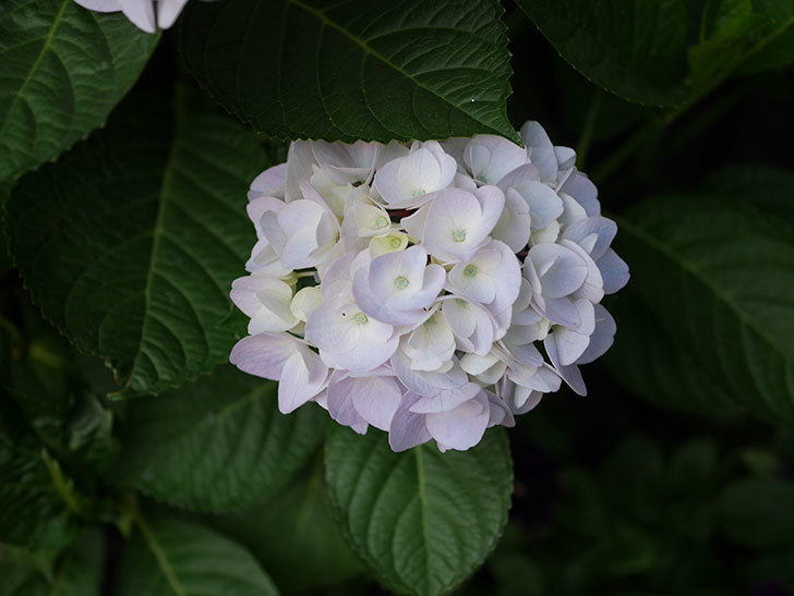 ハイドランジア コットンキャンディの花がすこしピンクになってきた。2020年-009.jpg