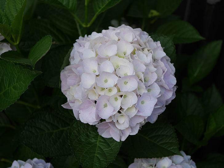 ハイドランジア コットンキャンディの花がすこしピンクになってきた。2020年-011.jpg