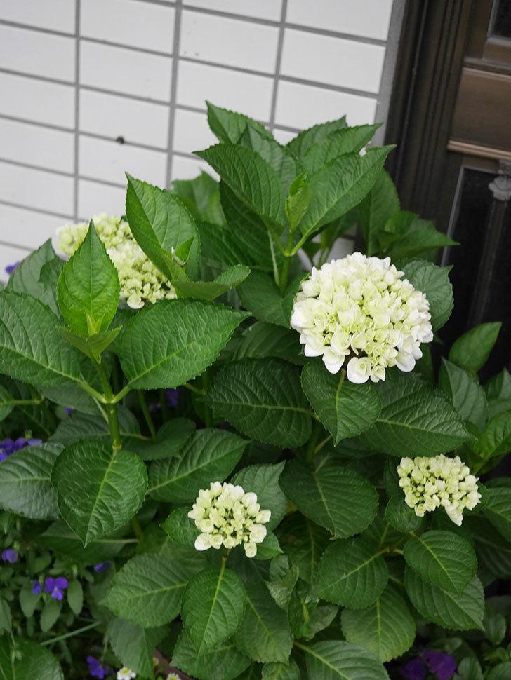 ハイドランジア コットンキャンディの花がすこし咲いた。2020年-002.jpg
