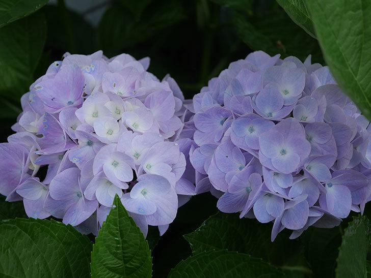 ハイドランジア コットンキャンディの花が綺麗に咲いた。2020年-009.jpg