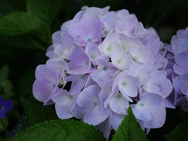 ハイドランジア コットンキャンディの花が綺麗に咲いた。2020年-010.jpg