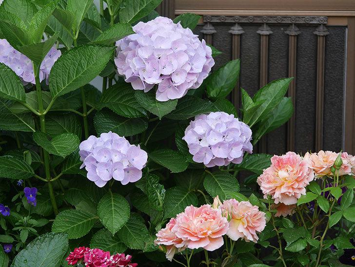 ハイドランジア コットンキャンディの花が綺麗に咲いた。2020年-012.jpg