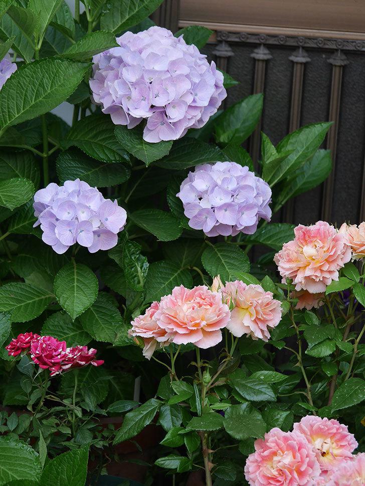 ハイドランジア コットンキャンディの花が綺麗に咲いた。2020年-013.jpg