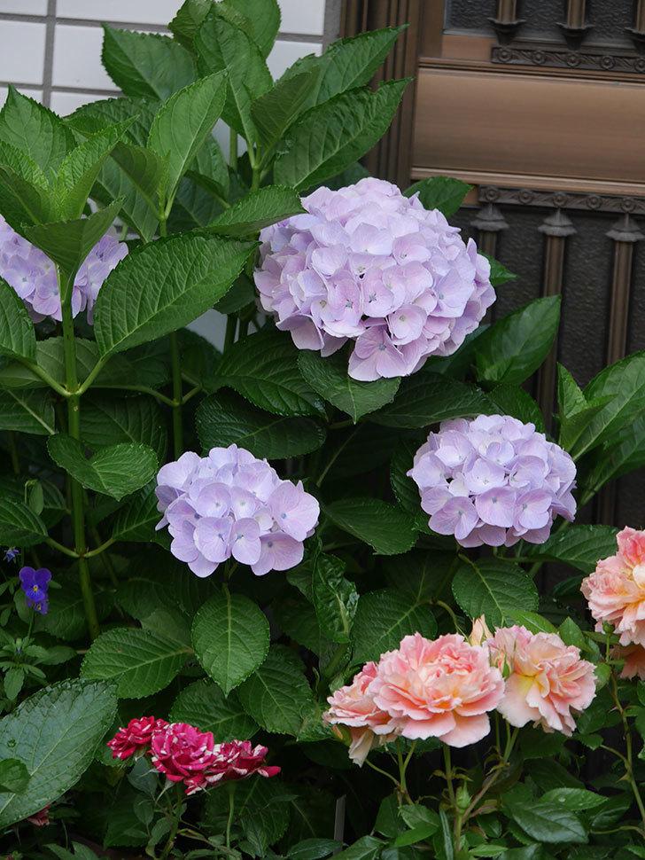 ハイドランジア コットンキャンディの花が綺麗に咲いた。2020年-014.jpg