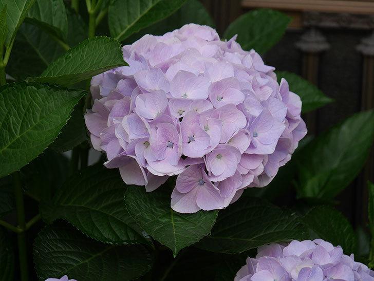 ハイドランジア コットンキャンディの花が綺麗に咲いた。2020年-016.jpg
