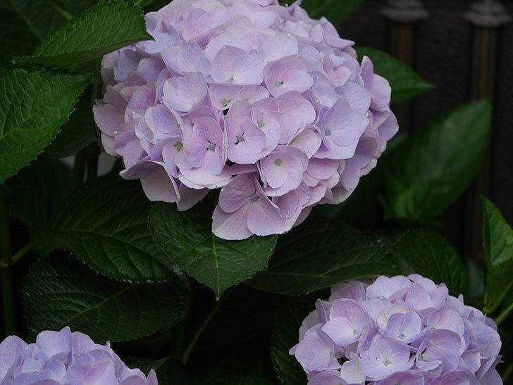 ハイドランジア コットンキャンディの花が綺麗に咲いた。2020年-017.jpg