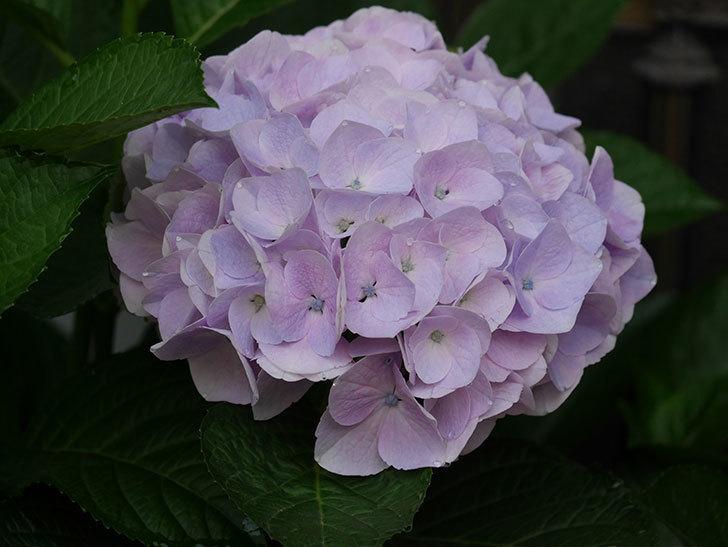 ハイドランジア コットンキャンディの花が綺麗に咲いた。2020年-018.jpg
