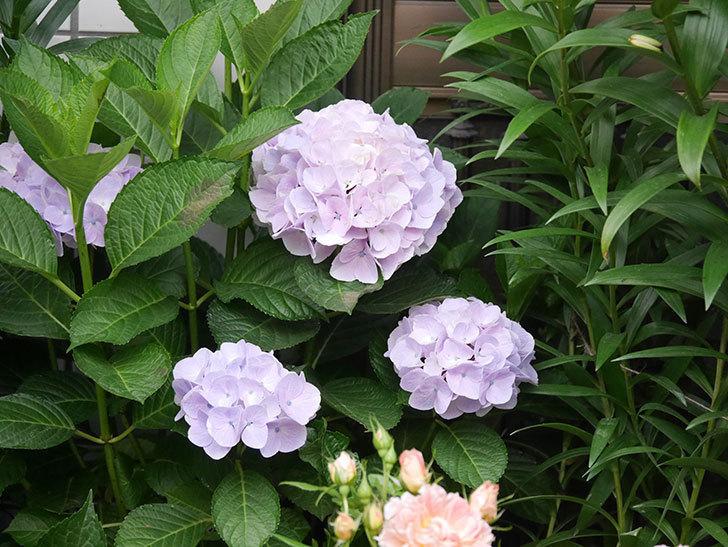 ハイドランジア コットンキャンディの花が綺麗に咲いた。2020年-020.jpg