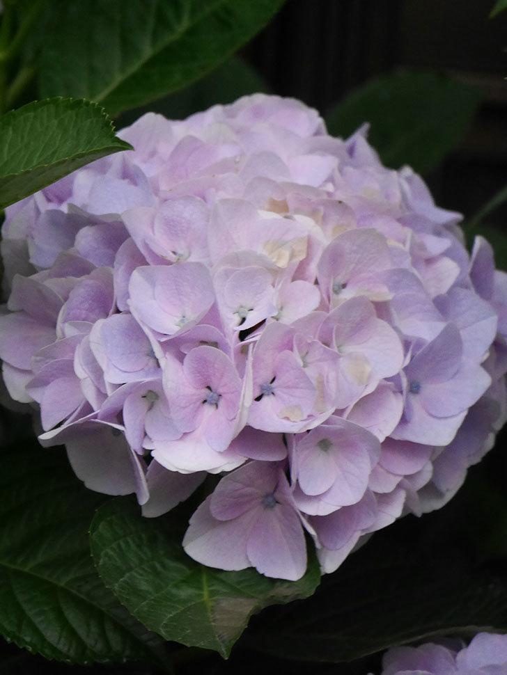 ハイドランジア コットンキャンディの花が綺麗に咲いた。2020年-022.jpg