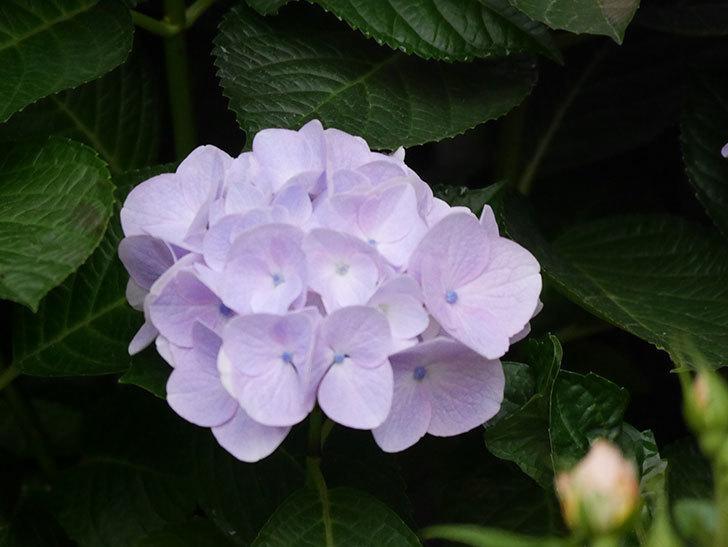 ハイドランジア コットンキャンディの花が綺麗に咲いた。2020年-023.jpg