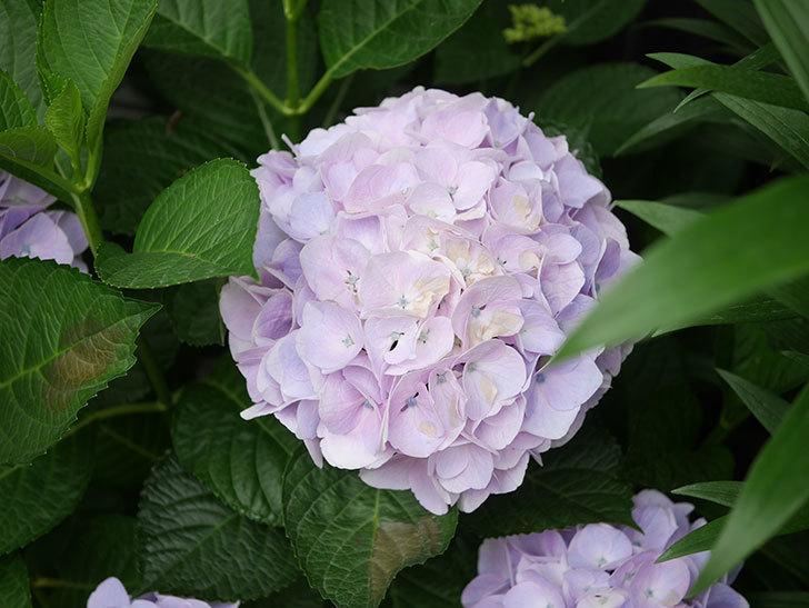 ハイドランジア コットンキャンディの花が綺麗に咲いた。2020年-025.jpg