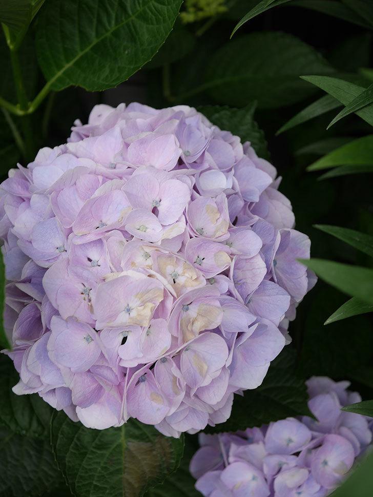 ハイドランジア コットンキャンディの花が綺麗に咲いた。2020年-028.jpg
