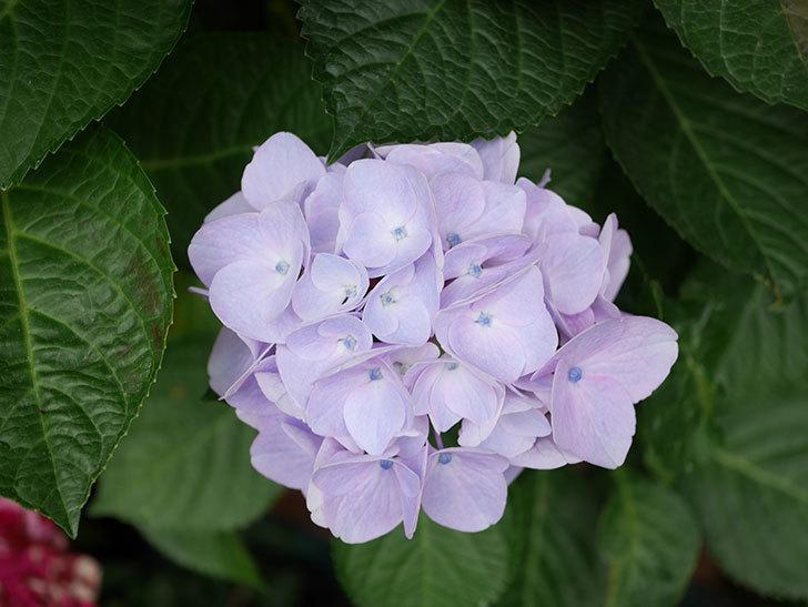ハイドランジア コットンキャンディの花が綺麗に咲いた。2020年-029.jpg