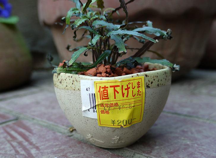 ハイドロカルチャーの観葉植物の鉢がホームズで200円だったので買って来た2.jpg