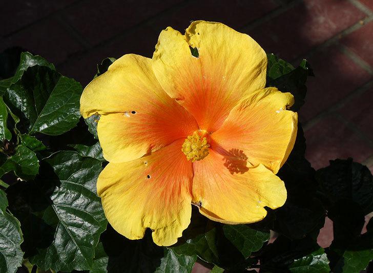 ハイビスカス-イエローベルが咲いた。2015年-1.jpg