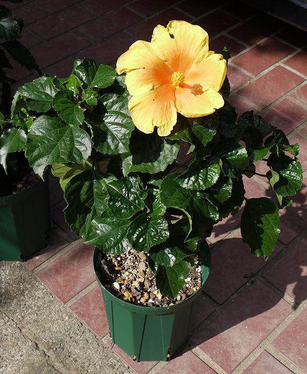 ハイビスカス-イエローベルが咲いた。2015年-2.jpg
