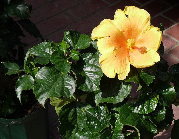 ハイビスカス-イエローベルが咲いた。2015年-3.jpg