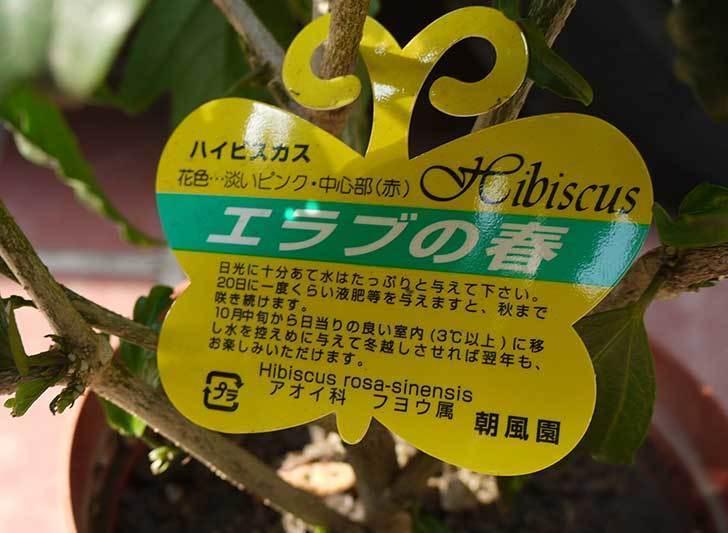 ハイビスカス-エラブの春がホームズで300円だったので買って来た。2015年-3.jpg