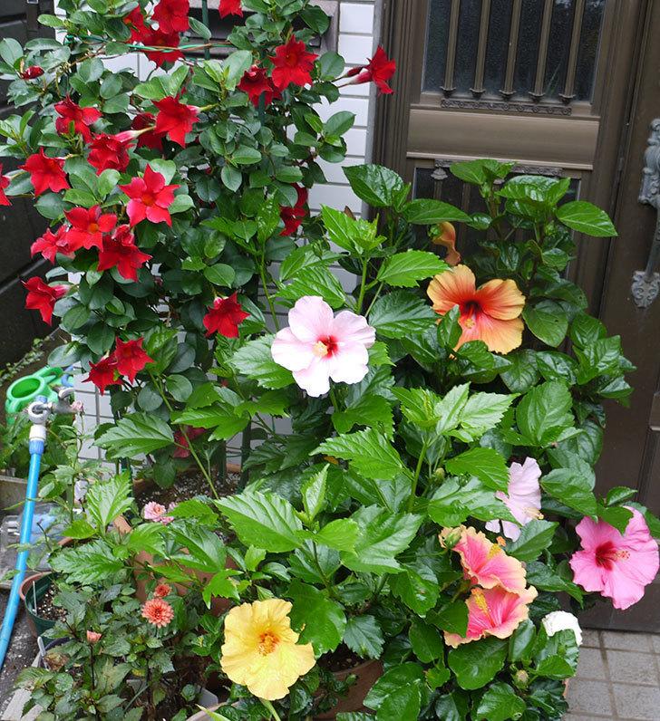 ハイビスカス-エラブの春の花が2個咲いた。2016年-12.jpg
